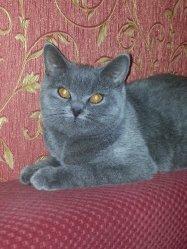 Czvetochek Uliyana of Arletta British (BRI a)