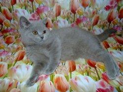 Gretta Arvika cats&Arletta British (BRI c)