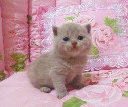 Gretta Arvika cats & Arletta British