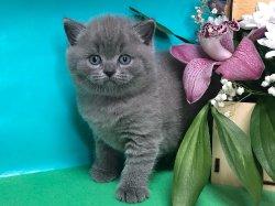 Сильвестр-голубой