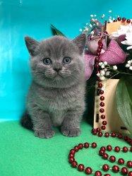 Сильвия-голубая